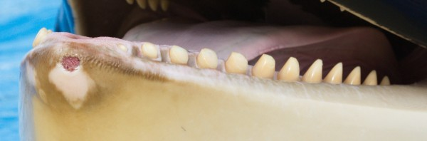 Morgan has self-mutilation wounds such as the tissue damage, open wounds and worn teeth from chewing on the concrete. The trainers and vet of Loro Parque claim this is 'normal'. 17 November 2013.