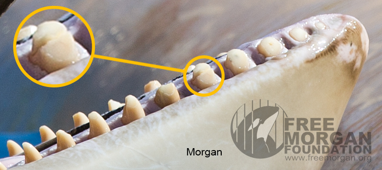 Morgan's tooth, fractured in half, but others are chipped and worn to the gum. This has all occurred since she arrived at Loro Parque.