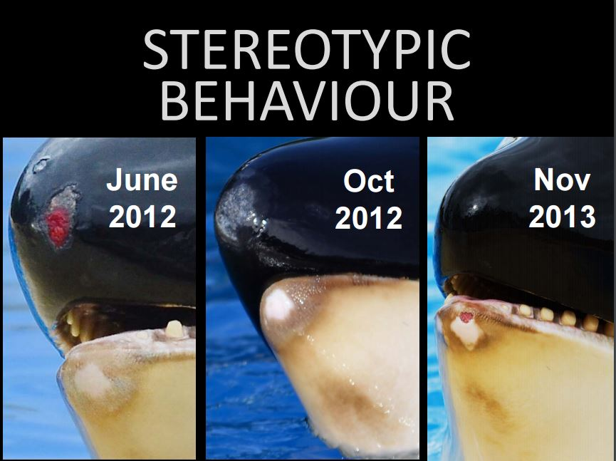 Stereotypic behaviour can lead to self-mutilation, like the three different types (tooth damage, hypertropic tissue damage, open wounds) seen here on Morgan