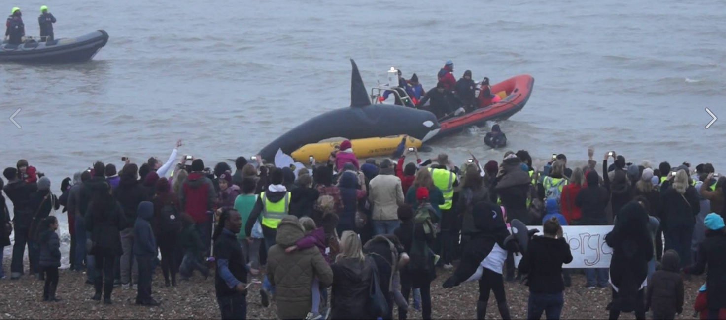2014 WhaleFest 'Mock Morgan Release' as 'Morgan' is taken out into the open ocean